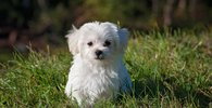 Dog young dog small dog maltese 1 195 100